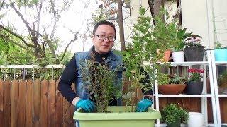 秋天学种蓝莓树,明年坐等吃蓝莓 【坤哥玩花卉】