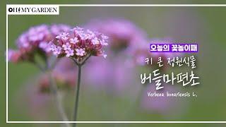 [꽃놀이패] EP33_버들마편초_키 큰 정원식물 Verbena bonariensis L.
