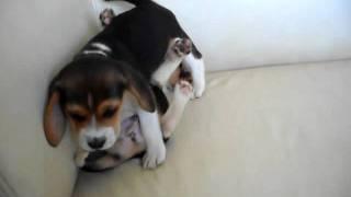 Badem Beagle - Yavrular - Puppies