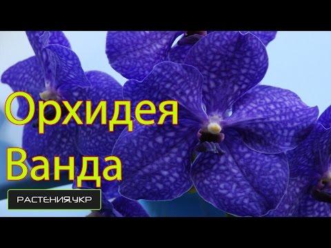 Дикая орхидея / Орхидея Ванда / как ухаживать за орхидеей?