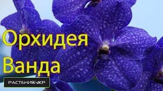 Уход за Орхидея Ванда в домашних условиях / Vanda Orchid Care at home(Орхидеи купить у нас на сайте .Смотрите орхидея цветок фото а так-же условия для орхидеи , виды орхидей и..., 2014-10-05T11:10:28.000Z)
