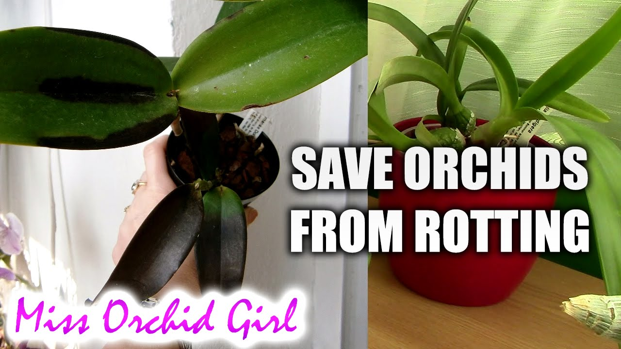 How To Save Orchids With Black Rot Youtube