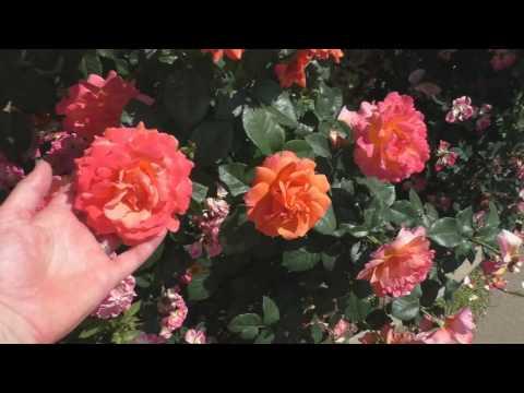 Цветение роз + обзор сортов.
