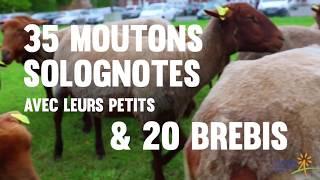 Des moutons et des brebis en liberté pour entretenir la Citadelle d'Arras
