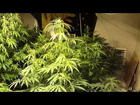 Why Cogos is an awesome nutrient--Massive Auto Update-Critical is huge
