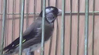 حسون لغة -Goldfinch