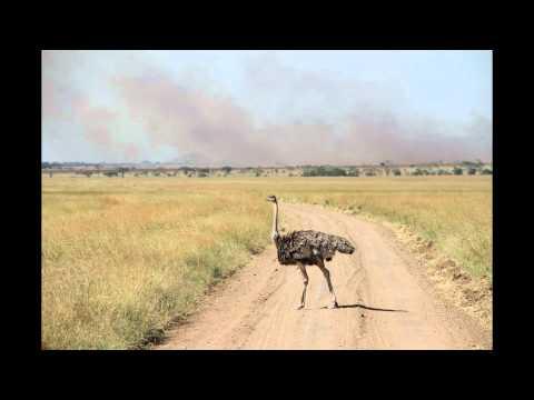 Afrikanischer Strauss im Nationalpark Serengeti 2012