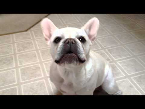 French Bulldog talking about her problems annoys other bulldog