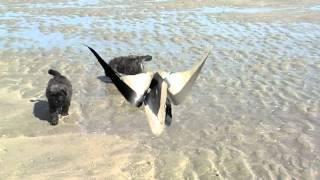 bouviertjes naar het strand in 's Gravenzande