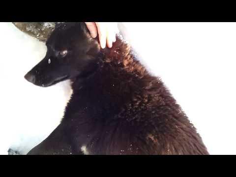Знакомьтесь: карельская медвежья #лайка по имени #Black. Немного дрессуры. Много снега... Часть-2