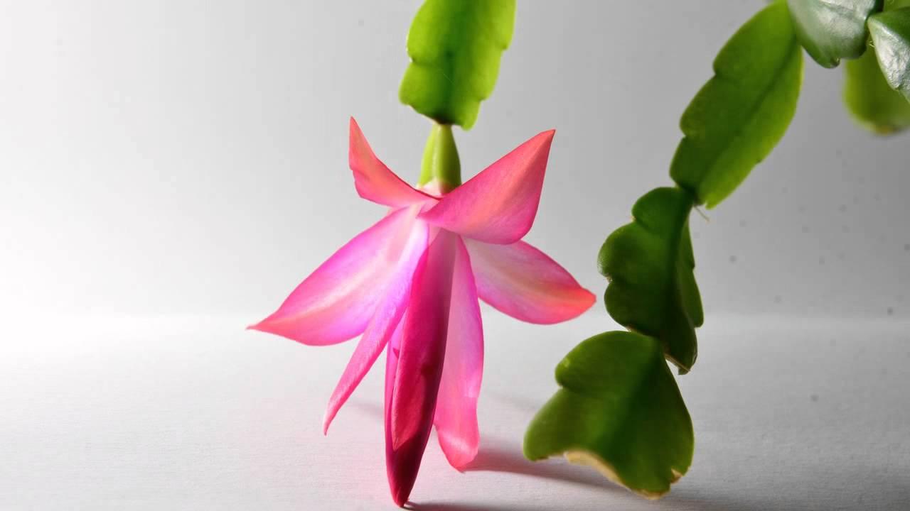 floraison du cactus d'hiver - youtube