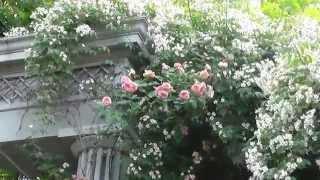 満開のキフツゲートが美しいバラクライングリッシュガーデンの7月..*  ...
