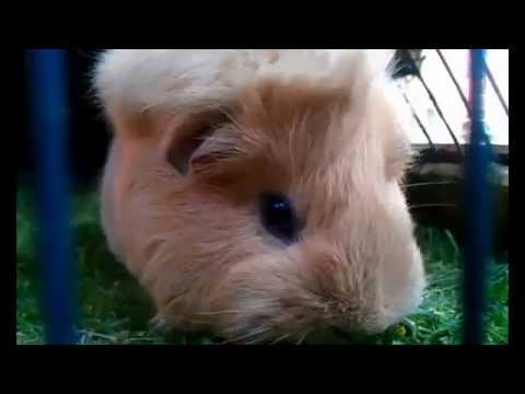 Scared Guinea Pig by Nyurgh on DeviantArt