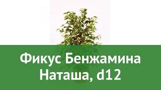 Фикус Бенжамина Наташа, d12 обзор ЦКР0091 бренд производитель