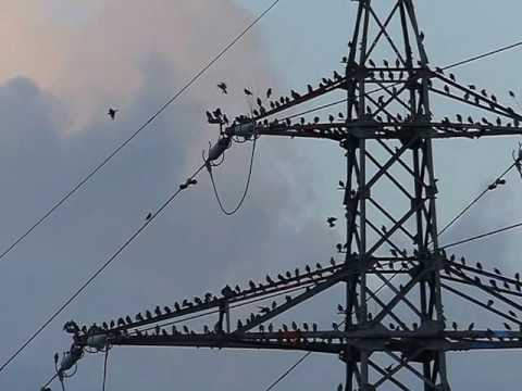 Grey Starlings Flying around a Power Pylon 240fps 鉄塔に就塒前集合する