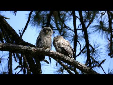 Great Gray owlets and mother