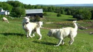 Old Man Farm - Livestock Guardian Dogs goofing around in the pasture