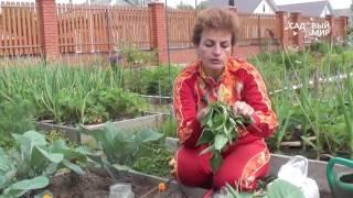 """Как защитить капусту от вредителей  Гусеницы на капусте. Сайт """"Садовый мир"""""""