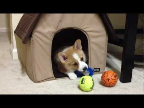 Corgi Puppy Plays With Toys