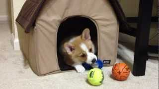 Meeko The Corgi Finally Playing Inside His Dog House