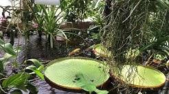 Karppi / Koikarppi Ruissalon kasvitieteellinen puutarha