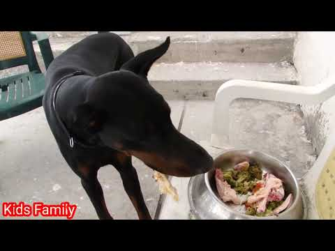 Puppy Eating Boil Chicken