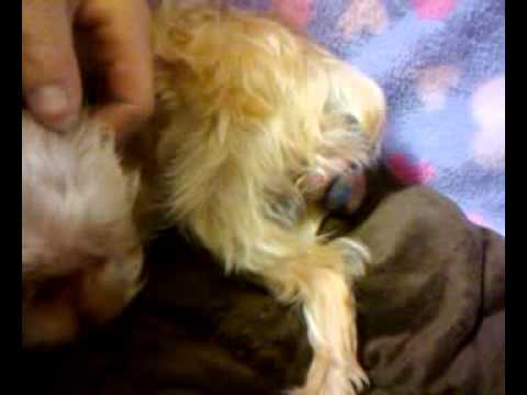 Teacup Morkie giving birth to puppy