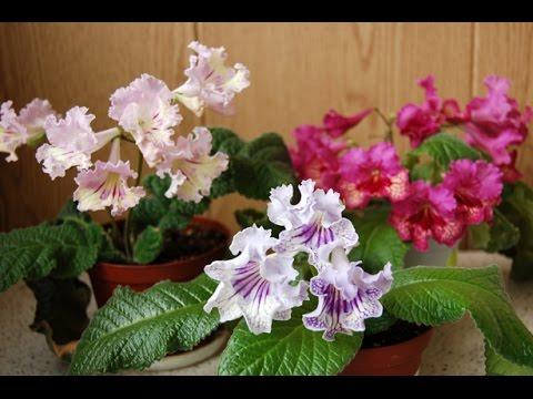 Продажа комнатных растений в киевской области ❀. На сервисе объявлений olx. Ua киевская область можно легко и быстро продать или купить комнатные цветы. Настоящих садоводов порадуют доступные цены и широкий выбор предложений. Покупайте домашние растения на olx. Ua. Мы поможем.