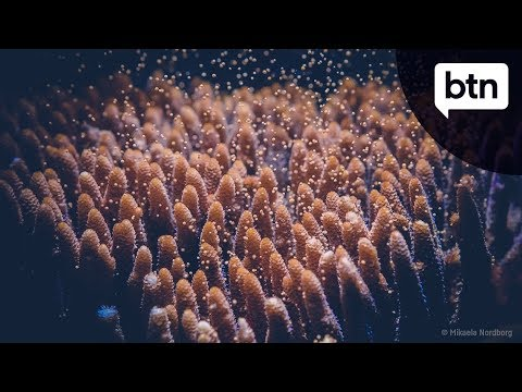 Coral Spawning - Behind The News