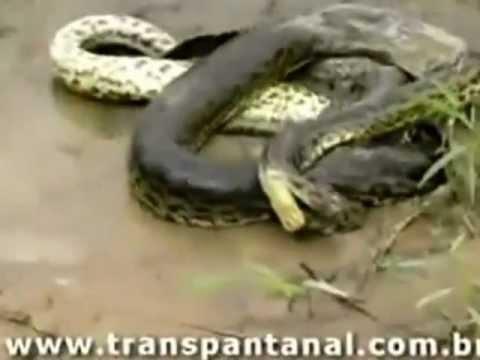 Python eating Crocodile !!