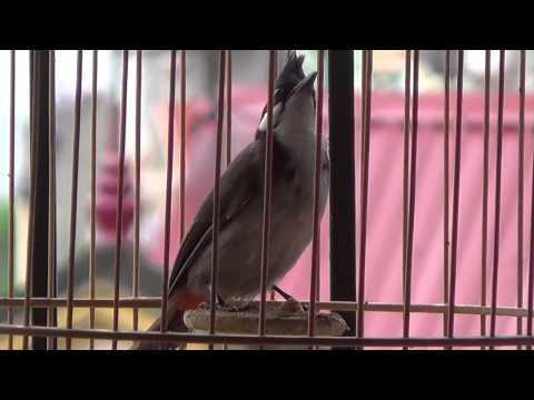Mua bán chim Chào Mào Quảng Nam