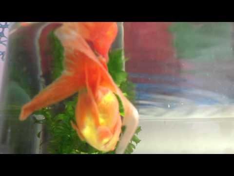 Goldfish And Red Swordtail Have The Ich
