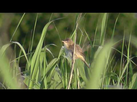 Marsh Warbler. Cahore , County Wexford. 2nd July 2017.
