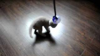 Котята шотландская вислоухая