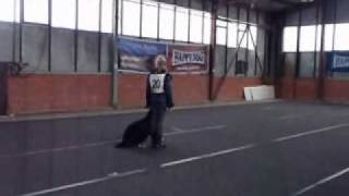 Bernese Mountain Dog Mobis, Obedience Competition 195,5 Points