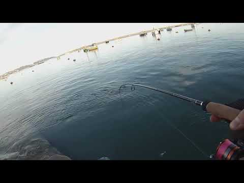 LRF Devon - Jumbo Mackerel And A New Species!
