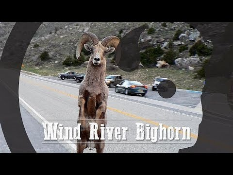 Wind River Bighorn - Our Wyoming