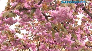 Черешня в цвету: с каждым годом аллея у морского порта Сочи ставится только краше