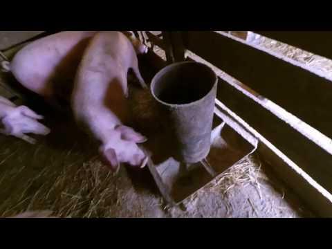 бункерна кормушка для свиней сама надійни проста і дешева