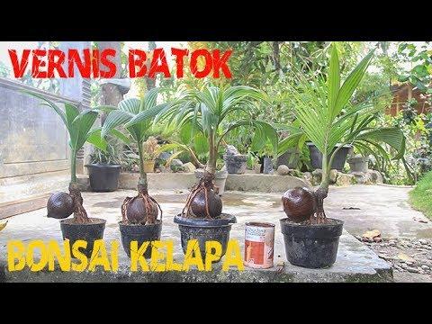 Vernis Batok Bonsai Kelapa Youtube