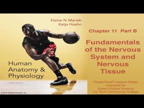 Anatomy & Physiology Chapter 11 Part B: Nervous System and N