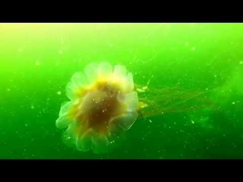 Lions Mane Jellyfish And Moon Jelly At Porteau Cove, Vancouver, BC