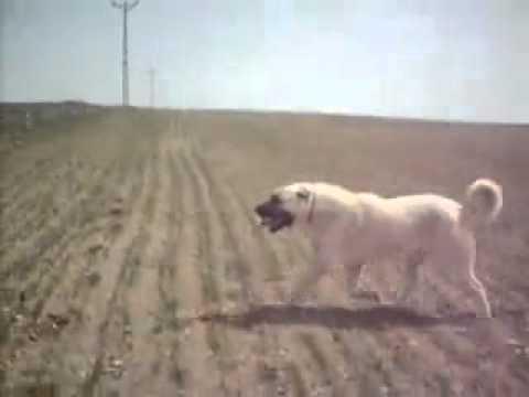 Turkish KANGAL vs American Pitbull Terrier Dog Fight 2008   YouTube
