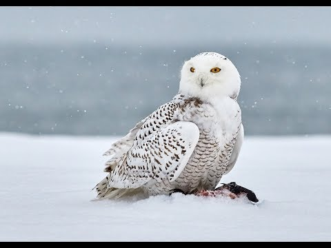 Owls of North America and their Calls