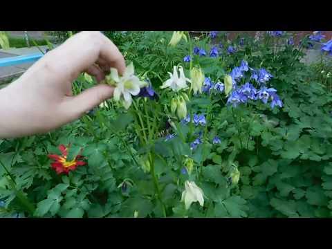 Вопрос: Как выглядят семена аквилегии (водосбор), фото?