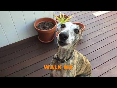 Whippet Whining, Complaining, Barking and Talking
