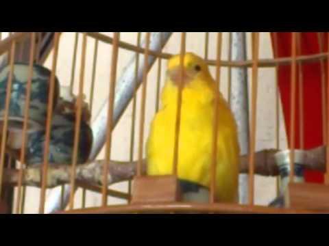 Chim yến hót