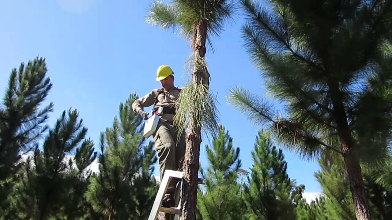 Poda forestal de pino con tijera el ctrica youtube - Poda de hortensias epoca ...