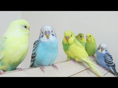 Kuşunuz Hep Kafeste mi   Kuşlar Neden Uçmalı   Muhabbet Kuşu Papağan