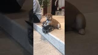 Кот и собака. Курильский Бобтейл и Шиба Ину.
